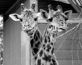 Giraffe Necks Intertwined Black and White 5x7 Glossy Photograph with Photo Mat