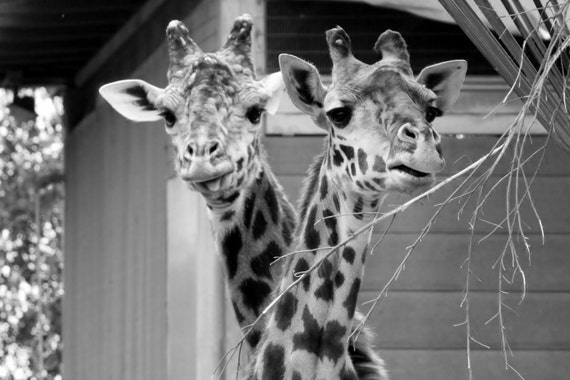 Giraffe Necks Intertwined Black and White 5x7 Glossy Photograph with Photo Mat
