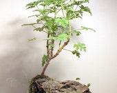 Attar of Roses Scented Pelargonium Capitatum, Rose Geranium -10 seeds