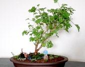 Citronella Scented Pelargonium (Lemon Scented Geranium) - 5 seeds