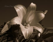 Spring Flowers Bronze Sepia Lily 8x10 Fine Art Photograph Beautiful Photography Print Fl12 Black And White
