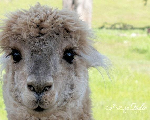 Alpaca Love, Alpaca photography, Adorable face, Farm Animal Photo
