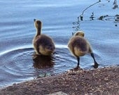 Gosling, lake,  birds photography, swim , nature photography, decor, nursery art, baby-  Wet Feet
