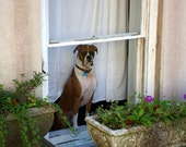 Charleston Boxer Dog in a Window Fine Art Photography Greeting Card Package South Carolina