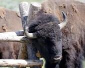 Yellowstone Bison Buffalo Fine Art Photography Print 5x7