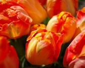 Tulips Flower  Floral Fine Art Photography Print 5x7 Red Orange Yellow - NoheaArtPhotography
