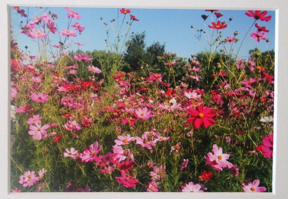 5x7 photo of pink  wild flowers: cosmos, garden, nature
