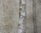 """birch trees, fine art photography print 10 X10"""" sepia, grey, shabby chic home gift, landscape limited edition"""