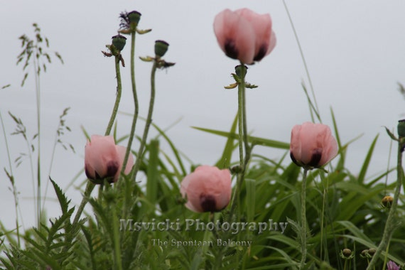 Garden photography Pink Poppies, Pink Flowers