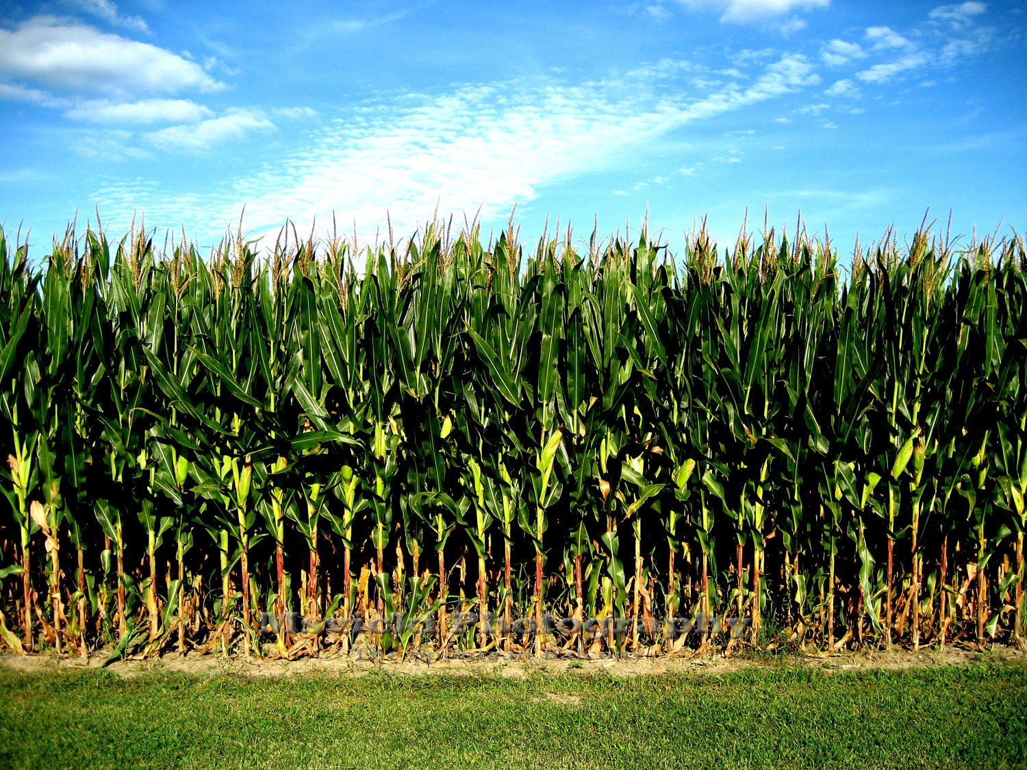 Popcorn or Field Corn...What's the Difference? - The ...