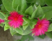 Two for 3 Dollars  Baby Sunrose Groundcover plant Sun Rose, Heartleaf Ice Plant, Red Apple, Red Flower Succulent