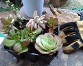 6 nice sized Succulents only 9.75 Succulent Assortment