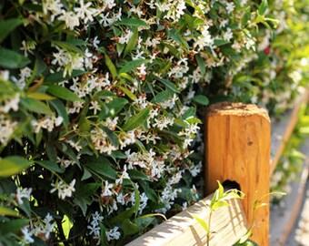 Jasmine Photo Print - Size 8x10, 5x7, or 4x6