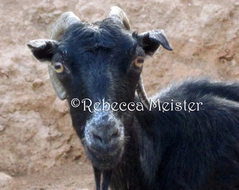 Greek Goat in Chania Crete Greece 8 x 10 Photograph