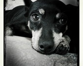 Dog With Sad Face, Miniature Pinscher, Puppy Eyes, Female Dog, 8x8 Photograph, black and white, childrens decor, animal, K-9
