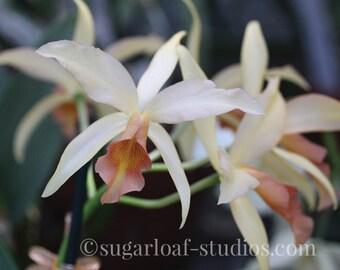 Cream Orchid 1 -- Fine Art Floral Photography Print -- Home Decor, Flowers, Art
