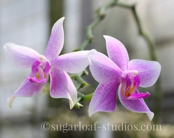 Pink Orchid 1 -- Fine Art Floral Photography Print -- Home Decor, Flowers, Art