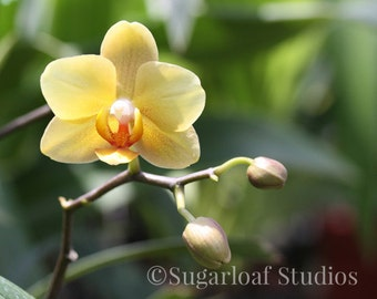 Yellow Orchid 1 -- Fine Art Floral Photography Print -- Home Decor, Flowers, Art
