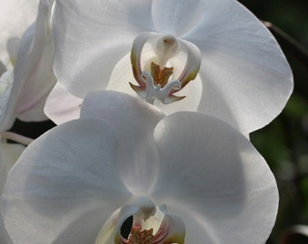 White Orchid 2 -- Fine Art Floral Photography Print -- Home Decor, Flowers, Art