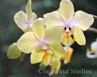 Yellow Orchid 2 -- Fine Art Floral Photography Print -- Home Decor, Flowers, Art