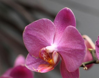 Pink Orchid 4 -- Fine Art Floral Photography Print -- Home Decor, Flowers, Art