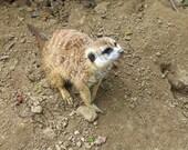 Meerkat Photograph 5x7 cute animal photo tan and brown