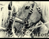 NO. 1 - DRESDEN HORSES - fine art black and white photography - 20x30cm / 8x12inch