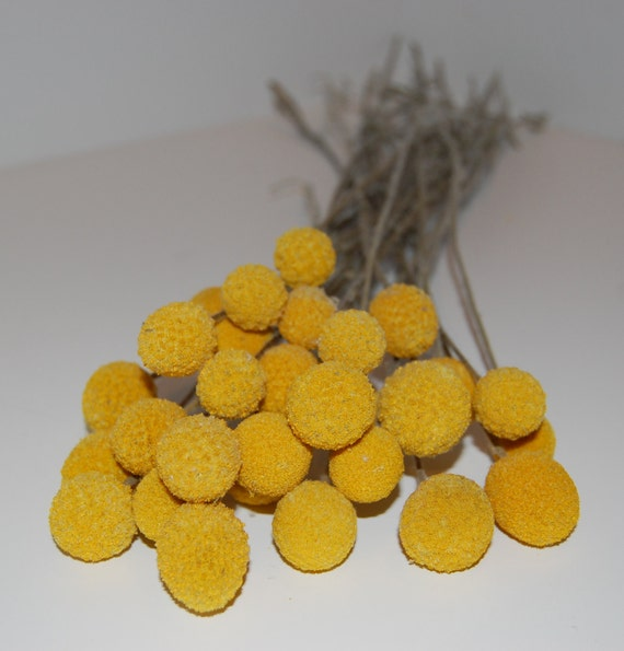 MEDIUM Craspedia (aka Billy Buttons or Billy Balls) Bunch - 40 Stems