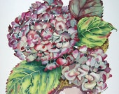 Botanical Flower Watercolour Hydrangea Pink  Watercolor Painting