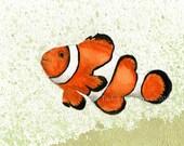 Clownfish (Amphiprion ocellaris)