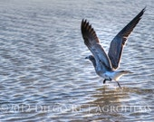 Nature Photography - Taking Off - bird 8x10 print. Seagull about to take off flying. - Free Shipping (US)