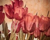 Tulip Vintage Botanical Print, Red Tulips Photograph, Fine Art Flower Photography Print 8x10