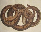 Antique Hand Colored Print Seba Snake,Printed in 1801, J. Pass