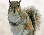 Gray Squirrel, 5x5 Fine Art Photography, Animal Photography - CindiRessler