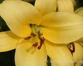 Yellow Asiatic Lily, Fine Art Photography, Floral Photography, Flower Photography