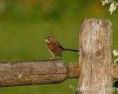 Sparrow on Fence, 5x7 Fine Art Photography, Bird Photography - CindiRessler
