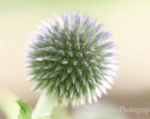 Globe Thistle, 5x7 Fine Art Photography, Floral Photography, Flower Photography, Nature Photography - CindiRessler