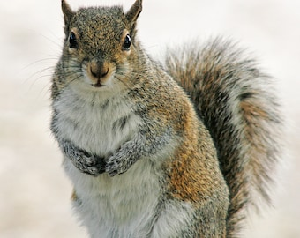 Gray Squirrel, Photography, Animal Photography