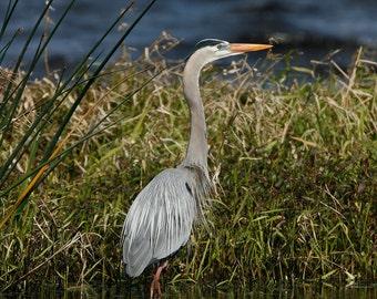 Great Blue Heron, Photography, Bird Photography, Nature Photography