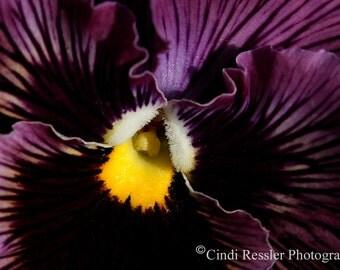 Flower, Photography, Purple Pansy, Photo, Floral, Fine Art, Spring, Botanical, Garden, Home Decor, Housewarming Gift, Living Room Decor