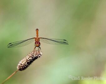 Autumn Meadowhawk Dragonfly, Fine Art Photography, Dragonfly Photography, Nature Photography