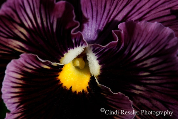 Flower Photography, Purple Pansy, Photography, Floral Photography, Flower Photography