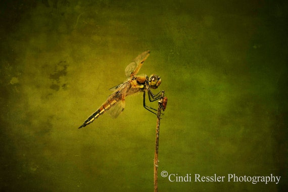 4-Spotted Skimmer, Fine Art Photography, Dragonfly Photography, Nature Photography