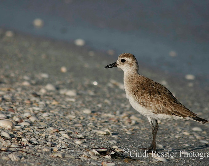 Black Bellied Plover, Photography, Bird Photography, Nature Photography