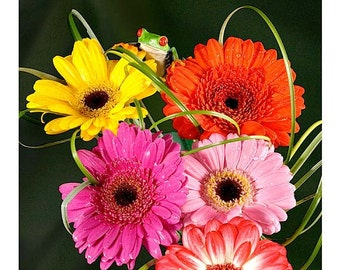 Five Gerber Daisies and Tree Frog, Gerber Daisy
