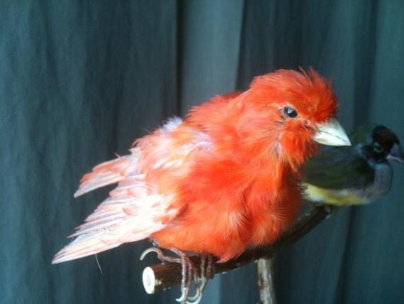 Canary Orange, Taxidermy Mount, Real Bird