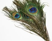 Small Peacock Feathers