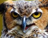 Wildlife Photography - Great Horned Owl headshot 5x7 Owl Photo Bird Photo