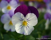 Purple and White Pansy.  8x10 Photo Matted to 11x14.