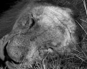 Sleeping Male Lion (7x5 Print)